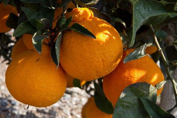 Sumo-Tangerines